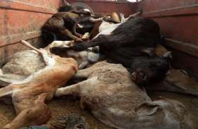 गौशाला बनी कब्रगाह, 9 दिनों में 89 गायों ने तोड़ा दम
