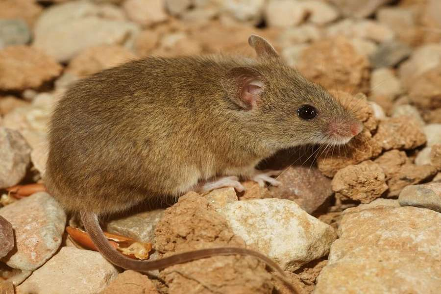 new species of rats are entering into rajasthan