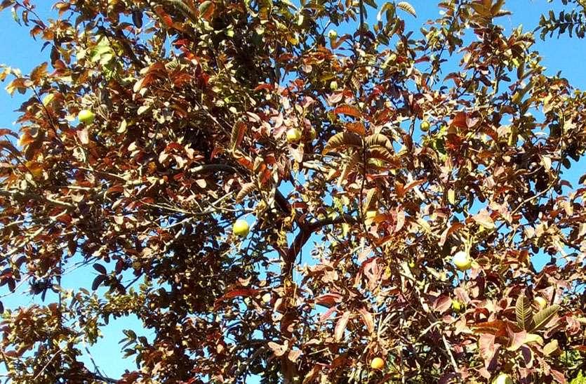 फसलों के साथ पेड़ों पर भी दिखने लगा नुकसान, जल गए जामफल के पेड़ों के पत्ते
