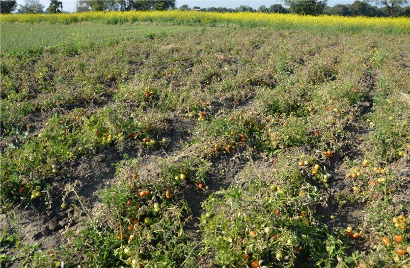 video: ठंड से फसलों पर संकट, तुषार से सूख गई फसलें, किसान चिंतित