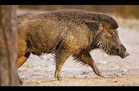 'इंडियन वाइल्ड बोर विश्व की अन्य प्रजातियों का जन्मदाता