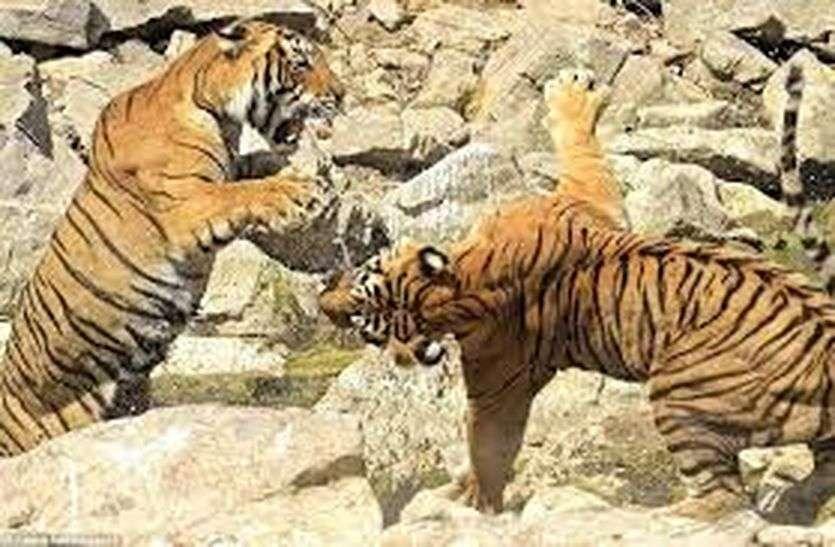 रणथम्भौर: मंडरा रहा बाघों के संघर्ष का खतरा