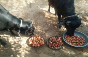 राजस्थान के इस गांव में किसान भैंसों को खिला रहे भारी मात्रा में अनार, जानिए क्यों