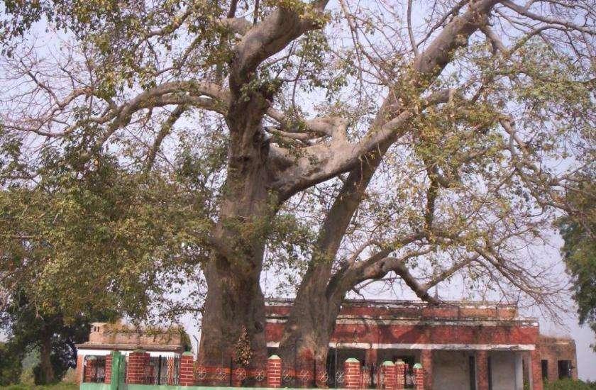 पारिजात वृक्ष