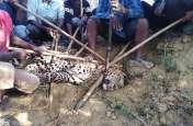 BIG BREAKING: जंगली सूकर पकड़ने के लिए बिछाया जाल, फंस गया तेंदुआ, हड़कंप