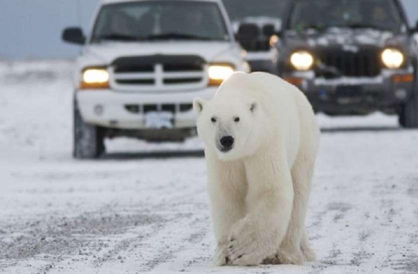 रूस के इस शहर में घुस आए दर्जन भर भालू, प्रशासन ने घोषित किया आपातकाल