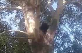जंगल से निकलकर धूप सेंक रहा था भालू, लोगों को देखते ही चढ़ गया पेड़ पर, नीचे उतारने में करनी पड़ी 13 घंटे मशक्कत, जानिए पूरा मामला