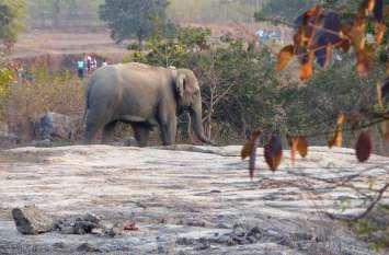 PHOTO GALLERY : ओडिशा से मैनपाट पहुंचा 12 हाथियों का दल, दहशत में लोग, रेडियो कॉलर पहनी गौतमी हथिनी भी