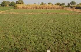 खेतों में मवेशी कर रहे फसलों को नुकसान