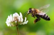 रिसर्च स्टाेरी - गठिया दूर करें मधुमक्खी, पैर हिलाना दिल के लिए घातक