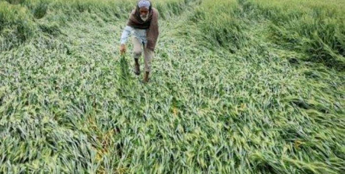 गरज-चमक के साथ आधा घंटा बरसे बादल, खेत में गिरीं गेहूं की बालियां