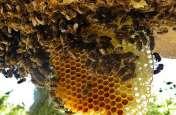 अचानक मधुमक्खियों ने किया लोगों पर हमला, 60 से अधिक हुए जख्मी, इस तरह बचाई जान