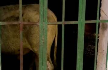 छुट्टा पशुओं को किसानों ने किया सरकारी विद्यालय में बंद