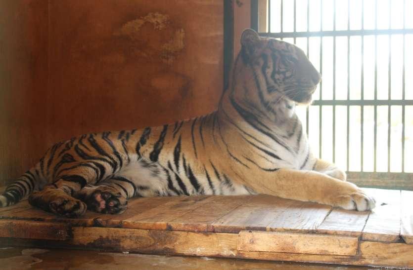 बाघों को भाया भोपाल, प्रदेश के 22 जिलों में बनाया स्थाई ठिकाना
