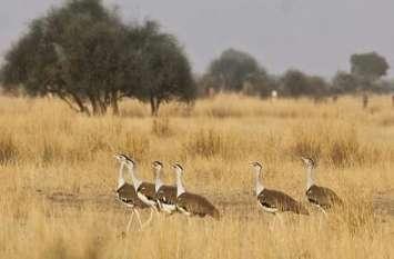 राज्य पक्षी गोडावण का विचरण पथ बताएंगे रेडियो टैग, रामदेवरा में हैचिंग सेंटर विकसित करने की भी मिली मंजूरी