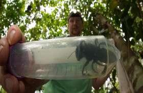 इंडोनेशिया में मिली दुनिया की सबसे बड़ी मधुमक्खी, पंखों के फड़फड़ाने की आवाज सुन लोग रह गए दंग