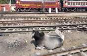पत्रिका विशेष : रेलवे ट्रैक पर आवरा मवेशियों की आवाजाही वंदे भारत एक्सप्रेस की स्पीड पर लगा रही ब्रेक