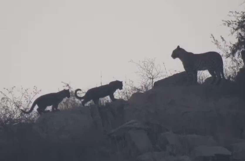VIDEO : अभयारण्यों के लिए अच्छी खबर, मेवाड़ का कुंभलगढ़ और रावली टॉडगढ़ बघेरों के लिए सबसे मुफीद