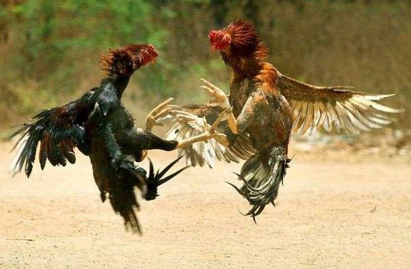 यहां देखें.... मुर्गों की लड़ाई में कैसे लगा हजारों का दाव