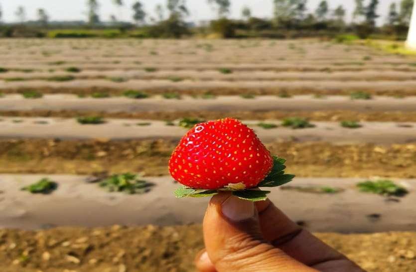 एडवोकेट से बन गए किसान, कर दिया एक्सपेरिमेंट, कुम्हारी में कर रहे स्ट्रॉबेरी की खेती