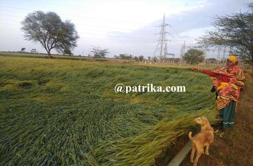VIDEO : गेहूं की फसल बिछ गई, सरसों की कटी फसलों में नुकसान