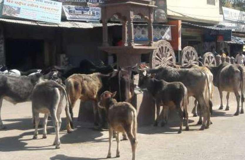 मुख्यमंत्री के आदेश को ठेंगा, नपा की गौशाला में गिनती की गाएं और सड़कों पर मजमा, यात्रियों की मुसीबत