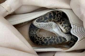 ऑस्ट्रेलिया से महिला के जूते में घर तक साथ चला आया 'अजगर', इस हैरतअंगेज घटना का ऐसे हुआ खुलासा