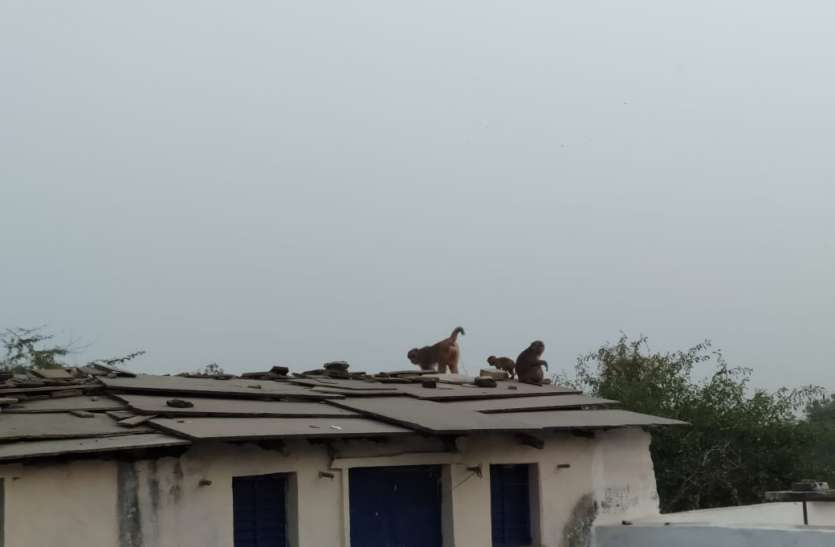 सोईंकला में बंदरों का आंतक, तीन बच्चों को काटा