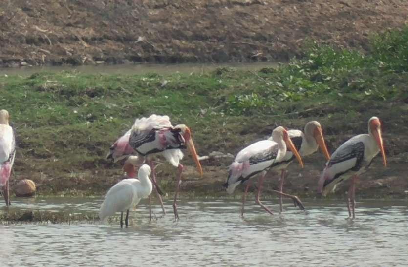 इस कारण से दूर दराज के मेहमान पक्षी खिंचे चले आते हैं यहां...अभी देख सकते हैं इनकी अठखेलियां