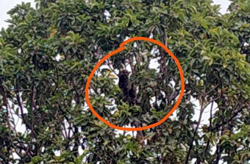 गप्पे मार रहे ग्रामीणों के सामने पहुंचा तेंदुआ, सामने देखकर लोगों की सिट्टी-पिट्टी गुल, भगदड़ मची तो चढ़ गया पेड़ में