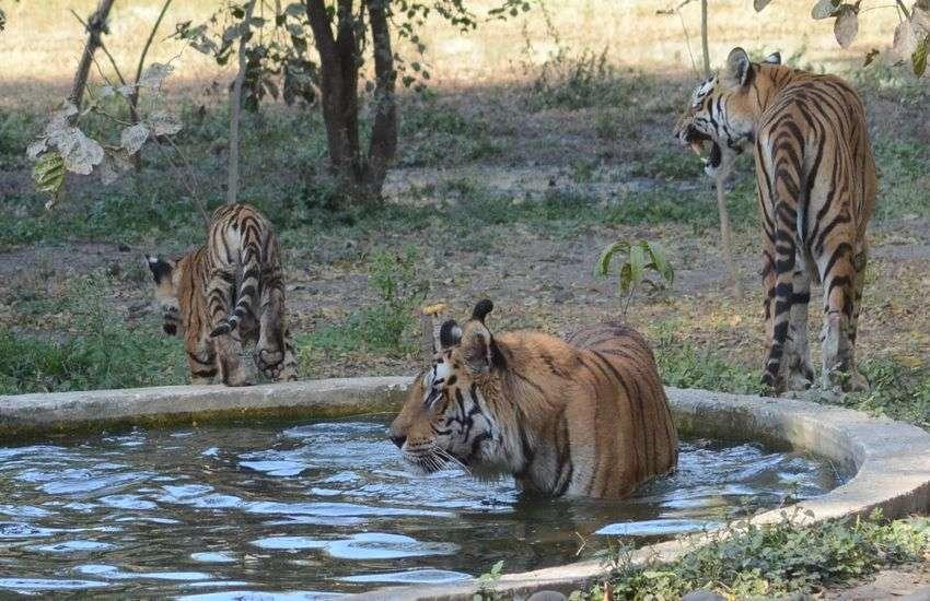 अमेरिका में बाघों के कोरोना परीक्षण के बाद राज्य के चिड़ियाघर अलर्ट पर