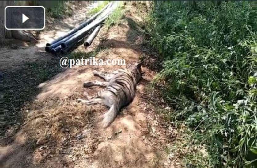 VIDEO : जंगल में जंगली जानवरों के हमले से जरख बुरी तरह घायल