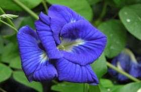 इस दिन नदी में बहा दें अपराजिता का फूल, जमकर होगी पैसों की बारिश