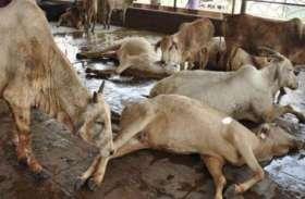 पंजाब में दुधारू पशुओं को हो रही यह गंभीर बीमारी,ग्रामीण अर्थव्यवस्था पर पड़ रहा असर
