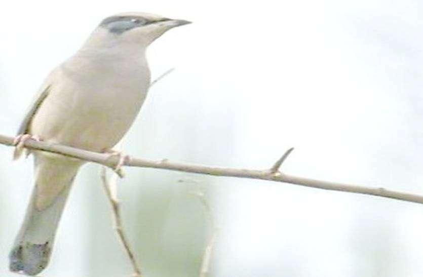 27 साल बाद थार में दिखा दुर्लभ पक्षी  ग्रे हीपोकोलिस