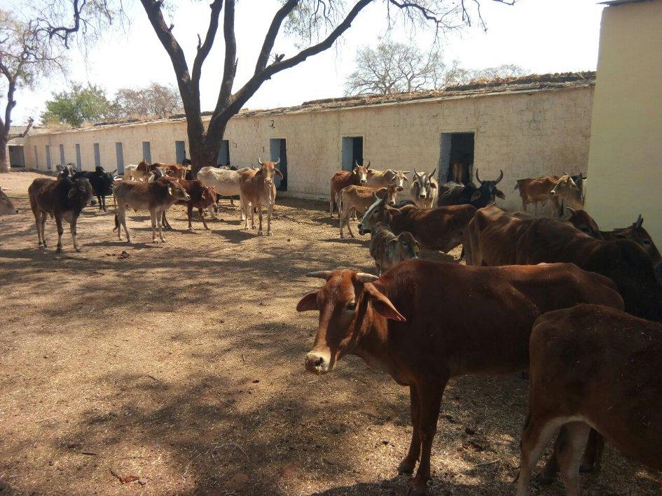 मृत गायों के पेट से निकल रही 30 से 35 किलो पॉलीथिन