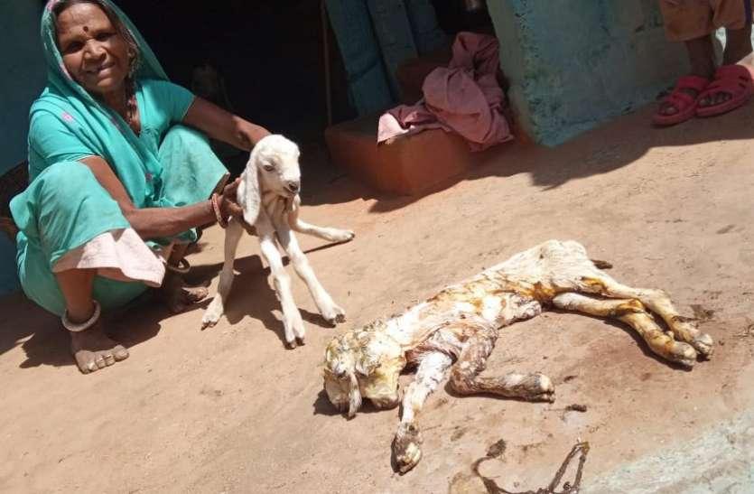 अजब-गजब : इस बकरी के हैं दो मुंह, तीन कान और चार आंखें