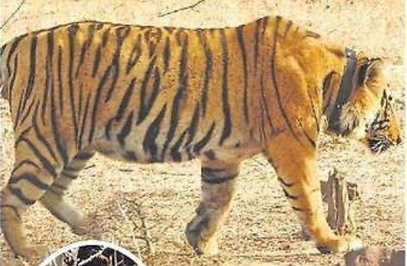रातापानी में बाघ का शिकार, पंजे काटकर ले गए तस्कर