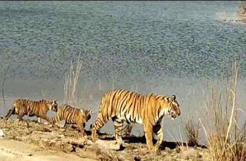 VIDEO : ऐसी झील जिसपर रहता हे बाघिन का राज, किस तरह रहती है सावको के साथ देखे वीडियो