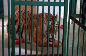 नए घर में दिनभर उदास रही बाघिन 'महक'