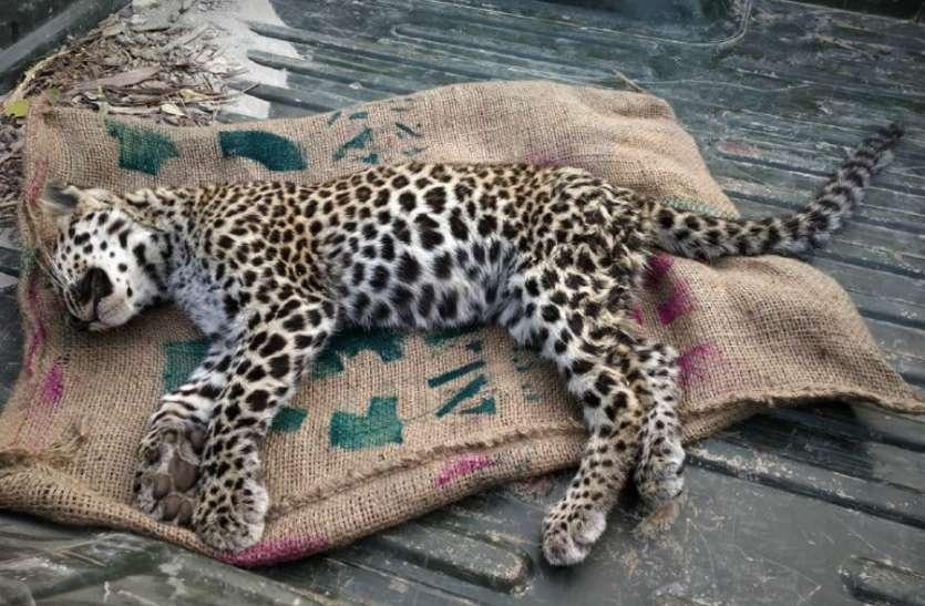एमपी के जंगलों में सक्रिय हुए तस्कर, तेंदुए का किया शिकार
