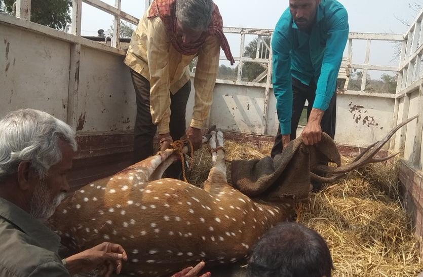 चीतल को कुत्तों ने हमला कर नोंच खाया, इलाज के दौरान हुई मौत