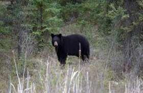 साथियों से दूर जंगल में लकड़ी के टुकड़े कर रहा था युवक, अचानक 2 भालुओं ने कर दिया हमला, ऐसे बची जान