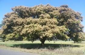 बेहद खास हैं आम के ये पेड़, इनपर नहीं पड़ता मौसम का जरा भी असर