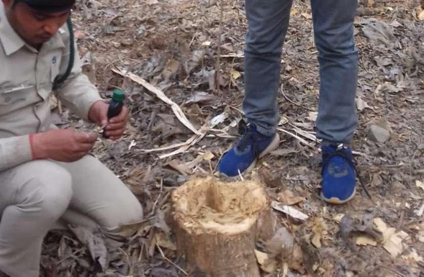 कटे पेड़ों की ठूठ गिनने उडऩदस्ता दल पहुंचा, फिर भी नहीं हो पाई गिनती
