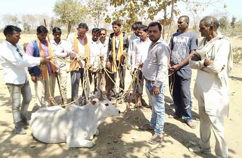 ग्रामीणों ने पकड़े गौ तस्कर, घंटों नहीं पहुंचा प्रशासन, जानिए फिर क्या हुआ