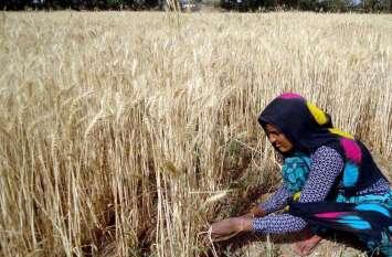 PHOTO@...खेतों में बढ़ी चहल-पहल, लावणी मे जुटे किसान परिवार...देखे तस्वीरें