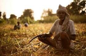 किसानों की फसलों पर कहर भरपा रहा 'सूंडी', फसलों को हो सकता है भारी नुकसान