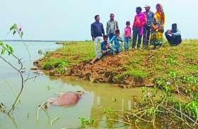 नदी पार कर रहे हाथी के बच्चे की डूबने से हुई मौत, वन विभाग की टीम ने किया अंतिम संस्कार
