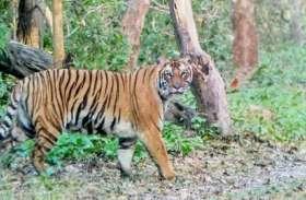 दुधवा में दुर्लभ हुए बाघों के दर्शन, अब नेपाल उनका नया ठिकाना